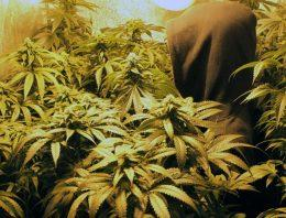 The Remedial Features ofthe Medical Marijuana