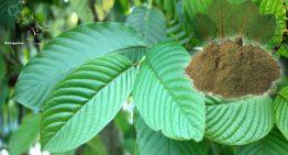 Where to Buy Kratom and Not Get Cheated?
