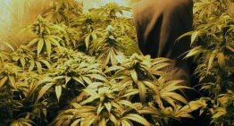 The Remedial Features of the Medical Marijuana