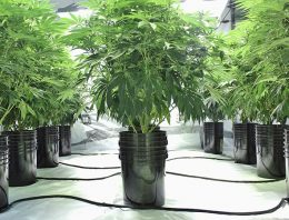 Boost Hydroponic Cannabis Growth: 5 Steps To Make That Happen